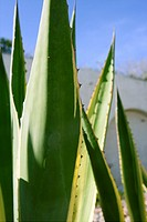 Agave plant detail in Mediterranean area white houses