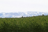 Teruel province snow mountain pine forest in Spain