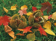 Chestnuts in husks and fallen leaves, Hokkaido Prefecture, Japan