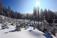 Verschneiter Tannenwald, Gurnigel, Schweiz