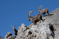 Switzerland, canton Graubünden, Grisons, animal, beast, capra ibex, cliff formation, rock, cliff, stones, Capra ibex, horns, Swiss Alps, mountains