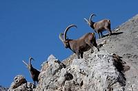 Switzerland, canton Graubünden, Grisons, animal, beast, capra ibex, cliff formation, rock, cliff, stones, Capra ibex, horns, Swiss Alps, mountains