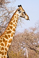 A giraffe (Giraffa camelopardalis) sticking out its tongue in South Africa