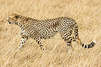 A cheetah scans the plains of the Masai Mara searching for prey