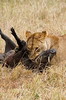 A lioness tries to kill a warthog in the Masai Mara