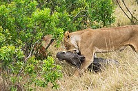 A lioness drags a warthog in the bushes in the Masai Mara as two cheetah approach