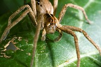 Extreme close up of the nursery web spider, Pisaura Mirabilis, female