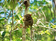 Tarsier, the world´s smallest primate