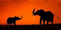 Elephants Loxodanta Africana communitating at dusk, Hwange National Park, Matabeleland North, Zimbabwe