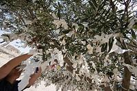 Sacrifice Paper on Olive Tree, Acropolis, Ancient Pergamum, Bergama, Turkey