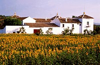 Sunflowers in front of Finca, Andalusia, Spain