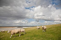 Sheep on dike, Beltringharder Koog, Luettmoorsiel, Nordstrand, Schleswig_Holstein, Germany