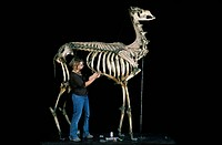 19th century camel skeleton. Museum worker restoring a 19th century skeleton of a dromedary camel Camelus dromedarius. Photographed in the museum of t...