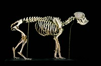 19th century bulldog skeleton. Skeleton of a bulldog, a breed of domestic dog Canis lupus familiaris. Photographed in the museum of the National Veter...