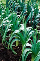 Leeks Allium porrum growing in a vegetable bed.