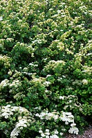 Spiraea trilobata, showing foliage and flowers.