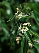 Swallow_wort Vincetoxicum hirundinaria flowers.