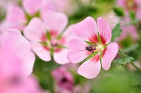 Anisodontea capensis 'Lady in Pink'