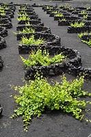 grape vines LA GERIA LANZAROTE Lava dry stone walls protecting vines on volcanic ashes field vineyards