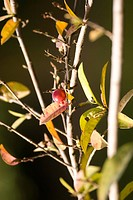 Bush, Fruit and Branch of the camu_camu dubious Myrciaria, Manaus, Amazonas, Brazil