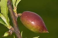 Peach Prunus persica, Vacaria, Rio Grande do Sul, Brazil