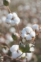 Cotton, Turpan, Xinjiang, China