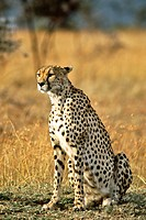 A female cheetah Acinonyx Jubatus in the Masai Mara game reserve in Kenya.