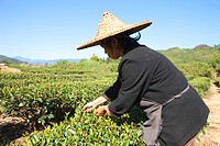 Farmer picking tea leaves at tea fields at Xingcun Star village, Wuyi mountains, Fujian, China