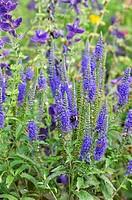 Caucasian speedwell Veronica longifolia ´Blauriesin´