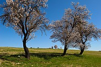 Almond tree in bloom near Budia, La Alcarria, Guadalajara province, Castilla-La Mancha, Spain