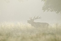 Red deer (Cervus elaphus) during the rutting season in morning mist, Denmark, Europe