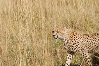 A cheetah scans the plains of the Masai Mara for prey