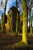 England, Tyne and Wear, Burradon, Sycamore Trees and the ruins of the Burradon Tower, a tower house built around 1553 by Bertram Anderson.