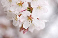 Cherry flowers, close up
