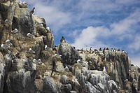 England, Northumberland, Farne Islands, Guillemots Uria aalge and Kittiwakes Larus tridactyla on rock stacks in the Farne Islands, the most famous sea...