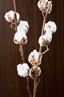 Cotton plant with cotton bolls