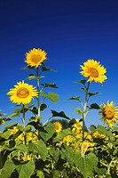 laval, quebec, canada, sunflowers helianthus annuus against a blue sky