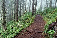 USA, Oregon, Cape Lookout State Park, Cape Trail to end of Cape Lookout through spruce and hemlock forest, foggy morning