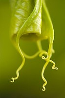 Close up of green angel&#8217;s trumpet