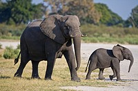 A female elephant (Loxodonta africana) with her calf in Botswana, Africa
