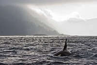 Orca swimming off Queen Charlotte Islands, British Columbia, Canada
