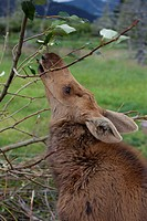 CAPTIVE moose calf stretches its neck to reach some leaves at the Alaska Wildlife Conservatiion Center, Southcentral Alaska