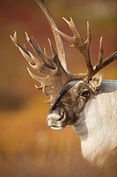 Bull caribou on Autumn tundra in Denali National Park, Interior Alaska