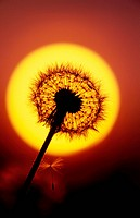 Close up of Dandelion Gone to Seed and Sunset Alaska