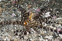 Wonderpus Octopus, Wunderpus photogenicus, Lembeh Strait, North Sulawesi, Indonesia