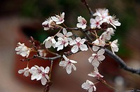 Plum tree blossoms
