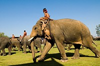 Elephants marching into Surin soccer stadium during the annual elephant roundup