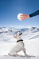 Dog in snow looks up to snowball
