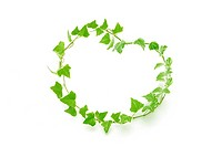 Ivies making heart, white background