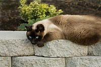 A Siamese cat resting on a garden wall